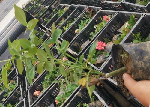 西宁盆栽月季花