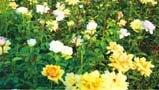 """""""小月季""""成就大产业 天水甘谷县打造西北重要花卉绿化苗木集散地"""